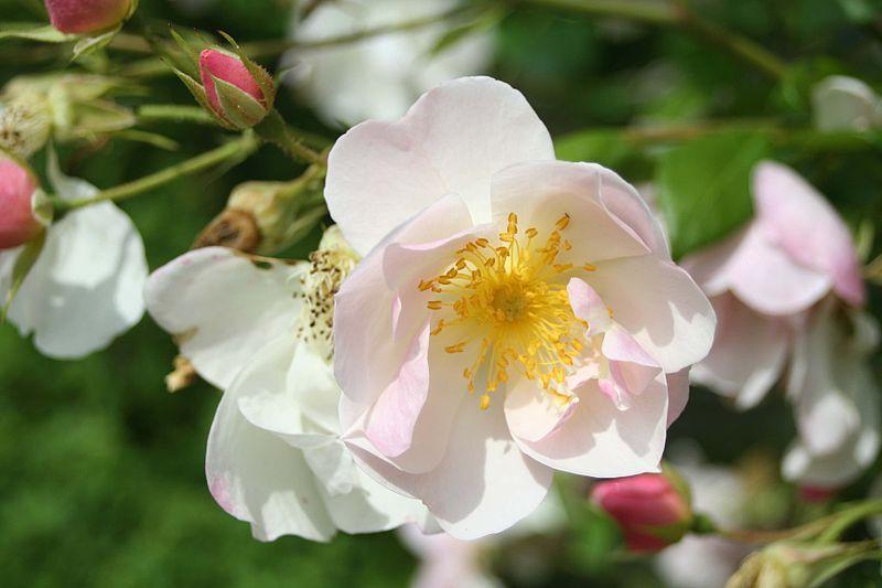 File: Rosa Nevada07.jpg