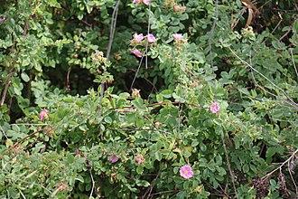 Palo Alto Baylands Nature Preserve - Thorny Wild California rose shelters a gray fox den in the Palo Alto Baylands along Matadero Creek.