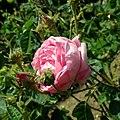 Rosa centifolia 2019-06-04 5448.jpg
