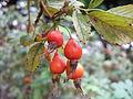 Rosa nipponensis rosehips.JPG