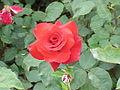 Rosa sp.89.jpg
