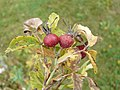 Rosa villosa fruit (02).jpg