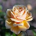 Rose, Cynthia Brooke, バラ, シンシア ブルック, (8912557499).jpg