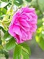 Rose, Pierette Pavement, バラ, ピーレッテ ペーブメント, (14153075241).jpg