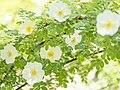 Rose, Rosa pimpinellifolia, バラ, ロサ・ピンピネリフォリア, (17372998849).jpg