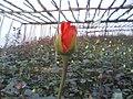 Rose-Garden-Penderjohn-Markazi-Arak-Iran.jpg