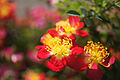 Rose Lylic バラ リリック (8084485200).jpg