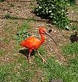 Roter Ibis (Eudocimus ruber).jpg