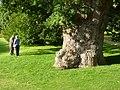 Royal oak - geograph.org.uk - 2091658.jpg