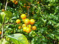 Royale fruit orange jaune round.jpg