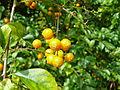Royale fruit orange jaune round.jpg
