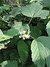 Rubus crataegifolius 11
