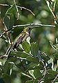 Ruby-Throated Hummingbird (15085288357).jpg