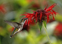 RubyThroatedHummingbird(Crop).jpg