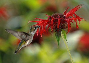 English: A female ruby-throated hummingbird (A...