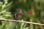 Ruddy darter dragonfly (Sympetrum sanguineum) almost adult male wings high.jpg