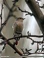 Rufous-backed Redstart (Phoenicurus erythronotus) (24849465882).jpg