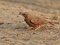 Rufous-tailed Lark (Ammomanes phoenicurus) in Kawal WS, AP W IMG 1985.jpg