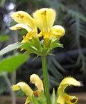 Ruhland, Grenzstr. 3, Goldtaubnessel, Blüten, Frühjahr, 01.jpg