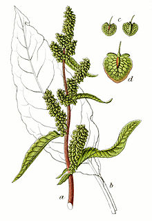 Patience dock(Rumex patientia)