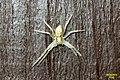 Running crab spider (MV) (14004378144).jpg