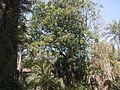 Saga Seed tree (4281702630).jpg