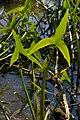 SagittariaSagittifoliaLeaves.jpg