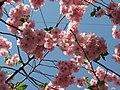 Saint Petersburg. Chinese Garden. Sakura tree2021 02.jpg