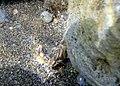 Salaria fluviatilis, Lake Bracciano, Italy.jpg