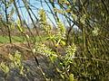Salix caprea 005.jpg