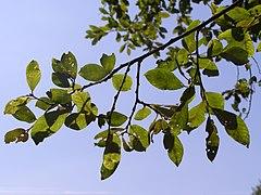 Salix cinerea subsp. oleifolia branch.jpg