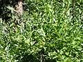 Salix eriocephala var. watsonii (5002980020).jpg
