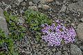 Salix herbacea and Silene acaulis01(js).jpg