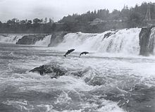 Salmon leaping at Willamette Falls.jpg