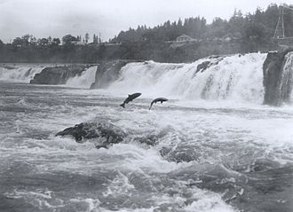 Salmon - Pacific salmon leaping at Willamette Falls, Oregon