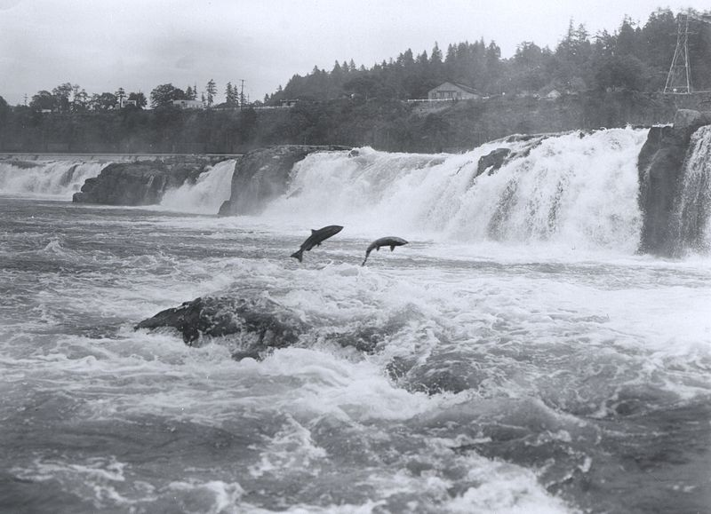 black and white photo of salmon leaping at Willamette Falls