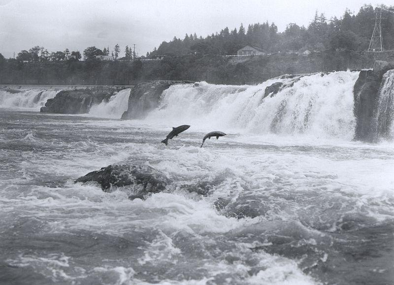 Tập tin:Salmon leaping at Willamette Falls.jpg