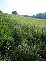 Salvia aethiopis sl18.jpg