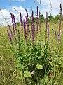 Salvia nemorosa sl2.jpg