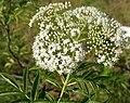 Sambucus canadensis W IMG 3144.jpg