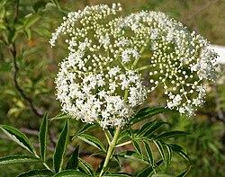 Sambucus canadensis en fleur
