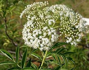 Sambucus canadensis - Flowers in Herbal Garden, in Rangareddy district of Andhra Pradesh, India.