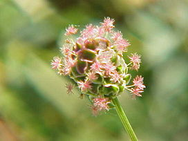 Sanguisorba minor0.jpg