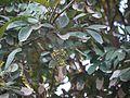 Sapindus emarginatus (8368387790).jpg