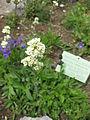 Saponaria bellidifolia 002.JPG