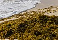 Sargasso Seaweed with waves and sandy beach (cropped).jpg