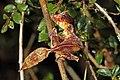 Satanic leaf-tailed gecko (Uroplatus phantasticus) Ranomafana 4.jpg