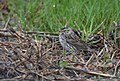 Savannah Sparrow in the newly greening grass (46762621415).jpg