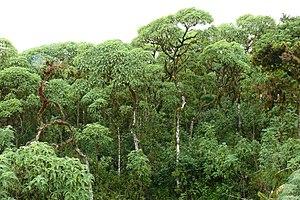 Scalesia - Scalesia pedunculata on Santa Cruz (Galapagos Islands)