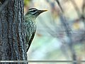 Scaly-bellied Woodpecker (Picus squamatus) (15707549818).jpg